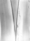 Plátano, planta. 1974