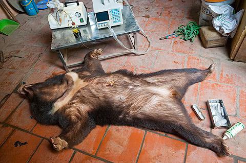 """© Mark Leong. De la serie """"Asia's Wildlife Tade"""". Uno oso negro asiático mientras le extran la bilis en la periferia de Hanoi. Miles de osos se mantienen en cautiverio para extraer su bilis que se usa como medicina tradicional. Eventualmente muchos de estos osos mueren de enfermedades hepáticas debidas a estas extracciones."""