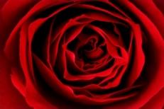 Ernst_Haas_rose