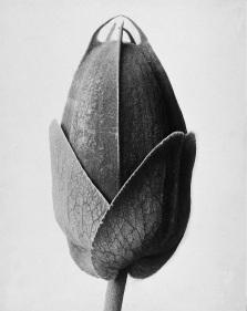 Passiflora, Passionsblume