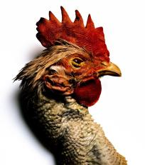 irving_penn_oscarenfotos_Red+Rooster