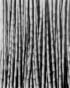 Tina Modotti. Caña de azúcar. (1926)