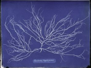 Ocean Flowers- Anna Atkins's Cyanotypes of British Algae5