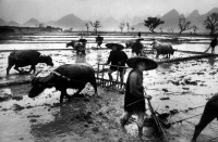 CHINA. Guangxi province. The very fertile ricefields of Guangxi give two harvests a year. The work is collective in ricefields, but the equipment and the clothes are always so rudimentary. 1965.